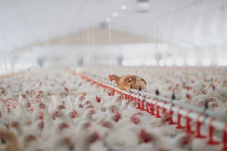Poultry farming in Pakistan
